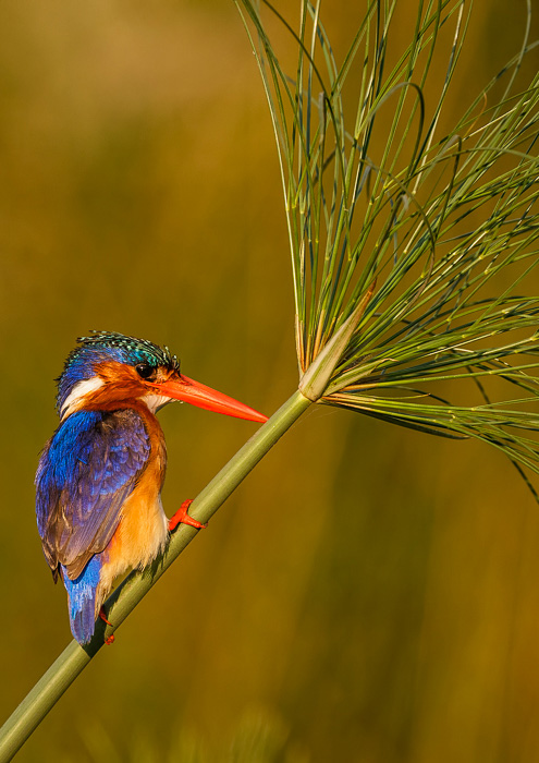 ©2016, Janet Scott, Malachite Kingfisher Botswana, Photograph